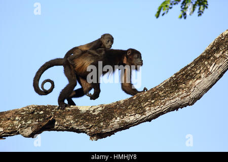 Mantled howler monkeys (Alouatta palliata) - mother and baby. Tropical dry forest. Palo Verde National Park, Guanacaste, - Stock Image
