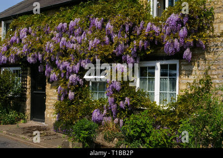 Purple flowering Wisteria covering the front of a house in the village of Cosgrove, Northamptonshire, UK - Stock Image