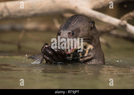 A Giant Otter enjoys a catfish in North Pantanal - Stock Image