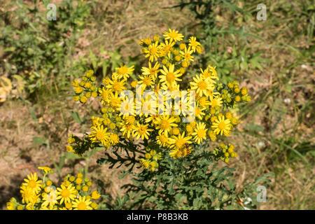 Common ragwort in park - Stock Image