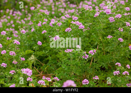 Beautiful flowers of grassy plant violet Geranium meadow outdoor - Stock Image
