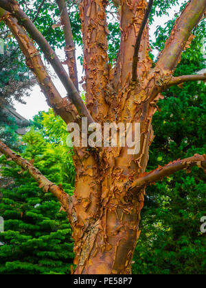 Close up of the bark of a Birch Bark Maple Tree Acer Griseum showing the flaky ornamental bark - Stock Image