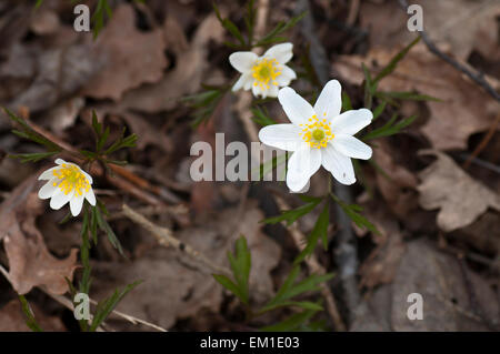 Forest anemones among the withered leaves this cloudy spring day. - Stock Image