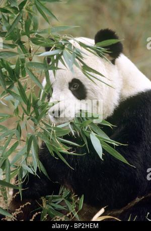 Giant panda feeding on bamboo, Wolong, Sichuan Province, China. - Stock Image
