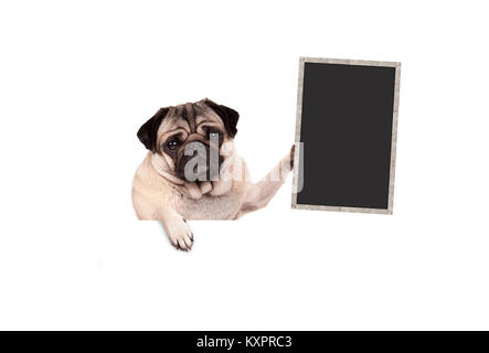 pug puppy dog holding up blank blackboard sign, hanging on white banner, isolated - Stock Image
