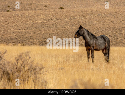 Liver chesnut wild mustang in a desert in Nevada, USA, on dry grass, side view, with plenty of copy-space - Stock Image