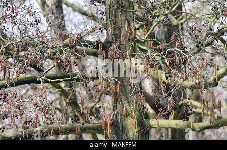 Male catkins and female cones on the same mature alder (Alnus glutinosa) tree in late winter. Sevenoaks, Kent, England, UK. - Stock Image