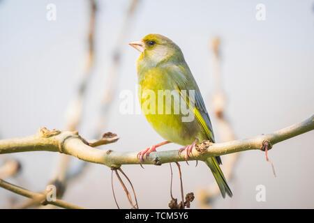 European greenfinch male Chloris chloris bird singing in early morning sunlight during mating season in Springtime. - Stock Image