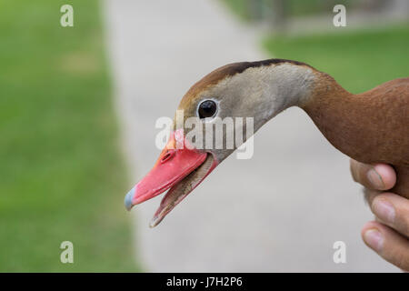 Whistling tree duck - Stock Image
