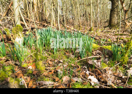 The arrival of Spring brings out the Wild Daffodil (Narcissus pseudonarcissus) also known as the Lent Lilly to the Herefordshire UK countryside. Febru - Stock Image
