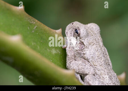 White toad - Stock Image