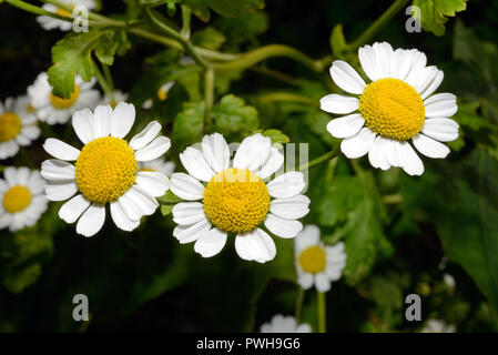 Tanacetum parthenium (feverfew) is a flowering plant found in man-made or disturbed habitats, meadows and fields, native to Eurasia. - Stock Image