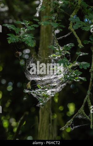Silk web of caterpillar larvae - Stock Image