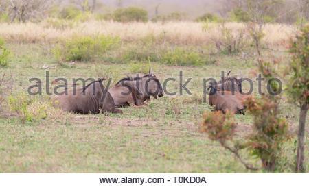 Blue wildebeest (Connochaetes taurinus) - Stock Image
