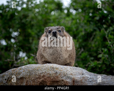 Rock hyrax (Procavia capensis), also called rock badger, rock rabbit, and Cape hyrax, commonly called the dassie. On Boulders Beach, Western Cape, nea - Stock Image
