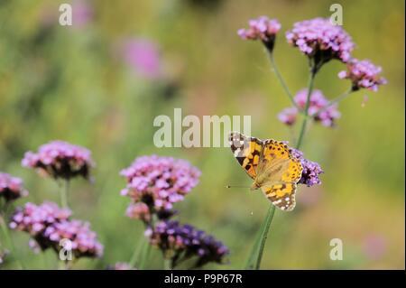 Cynthia cardui, Painted Lady butterfly feeding on Verbena bonariensis, Wales, UK. - Stock Image