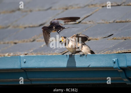 Swallow parent Hirundo rustica flying in with food for two hungry chicks - Stock Image