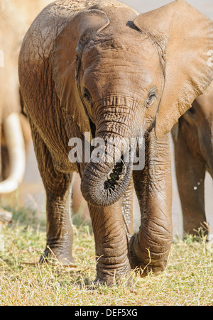 A baby African elephant is Samburu is still wet from his bath in the Ewaso Ng'iro River. - Stock Image