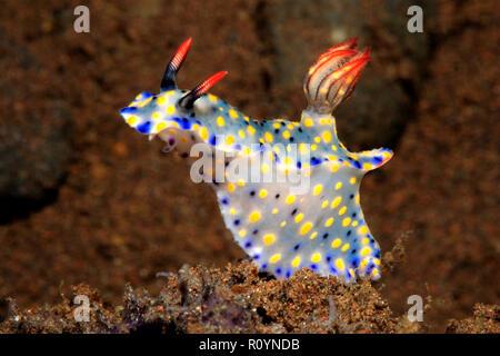 Nudibranch, Hypselodoris roo. Tulamben, Bali, Indonesia. Bali Sea, Indian Ocean - Stock Image