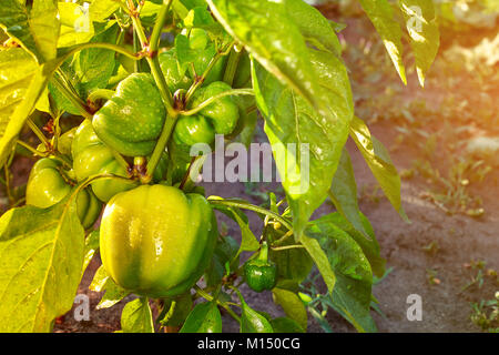 Closeup of ripening peppers in the home pepper plantation. Fresh green sweet Bell Pepper Plants, Paprika Green, - Stock Image