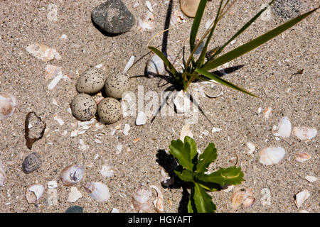 Piping plover nest, Charadrius melodus, on Long Beach in Stratford, Connecticut. Adjacent to the Great Meadows Unit - Stock Image