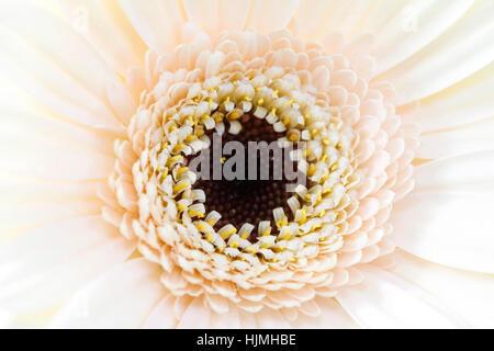 charming center of cream gerbera close up Jane Ann Butler Photography  JABP1788 - Stock Image