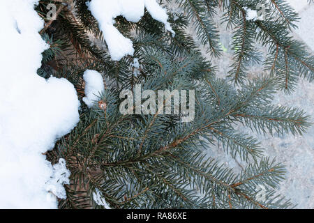 Evergreen fir tree branches covered in snow - Stock Image