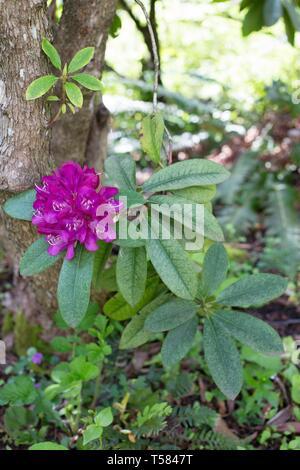 Rhododendron - Lee's Dark Purple - in Hendricks park in Eugene, Oregon, USA. - Stock Image