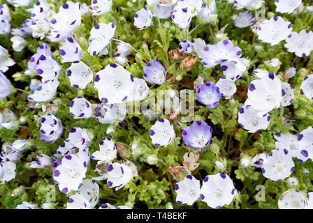 Nemophila maculata, baby blue eyes - Stock Image