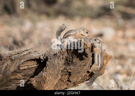 USA, Arizona, Buckeye. Two Harris's antelope squirrels on log. Credit as: Wendy Kaveney / Jaynes Gallery / DanitaDelimont.com - Stock Image
