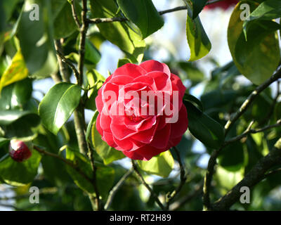 Camellia japonica in the February sunshine - Stock Image