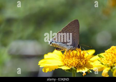 Brown playboy (Virachola antalus : Lycaenidae) Namibia - Stock Image