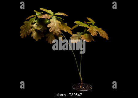 Low key life science image of english oak seedling. Black background quercus robur sapling, young plant. - Stock Image