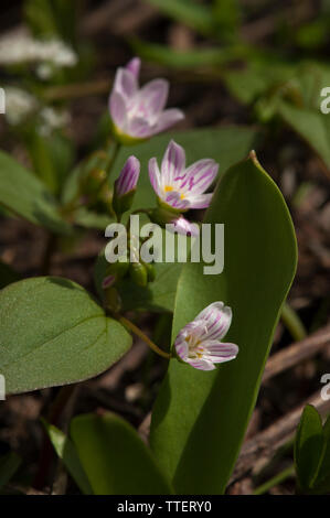 Probably Claytonia lanceolata, Lanceleaf Springbeauty, at the 3700-foot level of the Oregon Cascades. - Stock Image