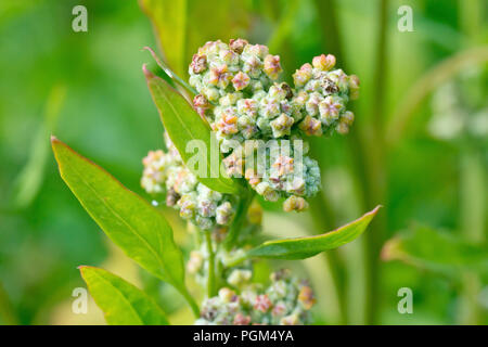 Fat-hen (chenopodium album), close up of the flower head and leaves. - Stock Image