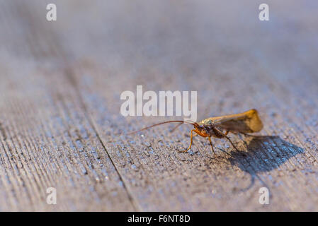Single winged insect on wooden table - Stock Image