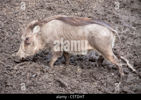 Outdoor image of a warthog (Phacochoerus africanus). - Stock Image