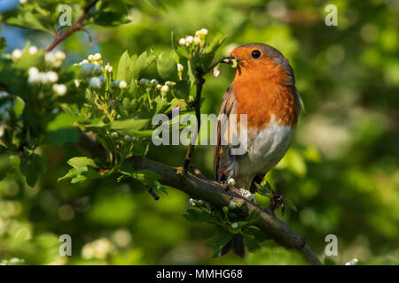 European Robin (Erithacus rubecula) collecting caterpillars for its nestlings in a flowering Hawthorn (Crataegus monogyna) tree - Stock Image