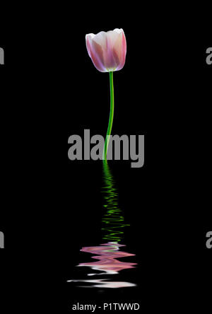 Pink and white tulip reflected in water - Stock Image