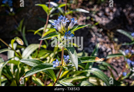 Italy Piedmont Turin Valentino botanical garden - Gentianaceae - Gentiana Parryi Engelm - Stock Image