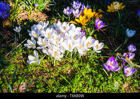 Mixed crocuses blooming in spring with a main group of white flowers and various other colours surrounding them - Stock Image