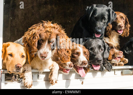 Eight Field dogs looking out of the back of a truck - Stock Image