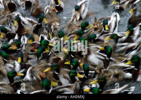 Many mallard ducks swarming to get food - Stock Image