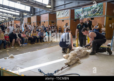Sydney, Australia. 23rd Apr, 2019. Staff members demonstrate alpaca shearing to visitors during the Sydney Royal Easter Show in Sydney, Australia, April 23, 2019. The Sydney Royal Easter Show is an annual show held in Sydney over two weeks around Easter. It is organized by the Royal Agricultural Society of New South Wales and was first held in 1823. The show comprises an agricultural show, an amusement park and a fair. Credit: Zhu Hongye/Xinhua/Alamy Live News - Stock Image