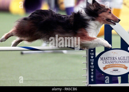 New York, USA. 09th Feb, 2019. Westminster Dog Show - Speedo, a Shetland Sheepdog, competing in the preliminaries of the Westminster Kennel Club's Master's Agility Championship. Credit: Adam Stoltman/Alamy Live News - Stock Image
