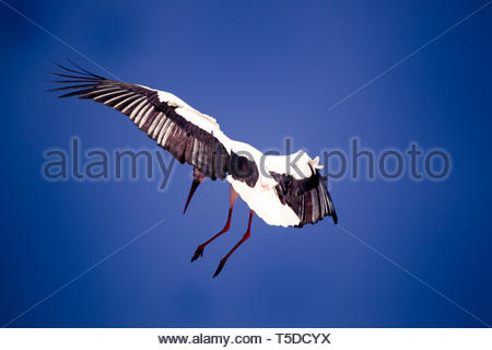 A stork at the landing - Stock Image