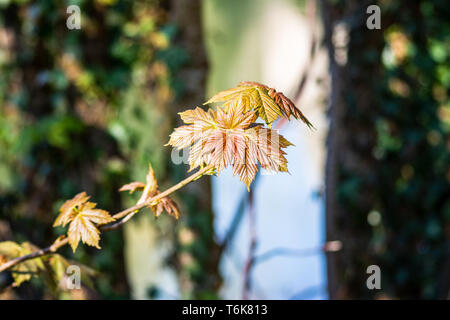 A small branch with shiny light green and reddish young leaves of the sycamore maple Acer pseudoplatanus - Stock Image