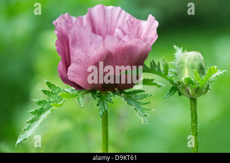 Oriental Poppy (Papaver orientale) 'Patty's Plum', close-up of flower and bud, West Yorkshire Garden, - Stock Image