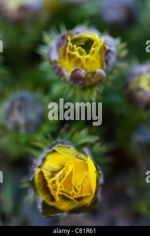 Yellow blossom Pheasant's eye (Adonis vernalis) in spring time. - Stock Image