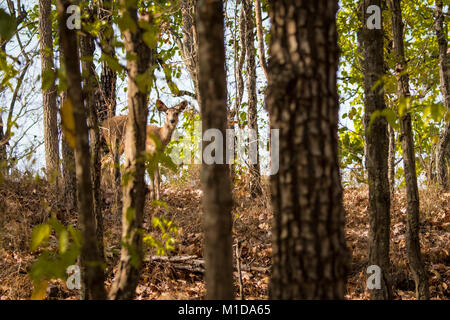 Shy Sambar Deer, Rusa unicolor, peeking from behind Sal trees in the forest of Bandhavgarh National Park, Tala, - Stock Image